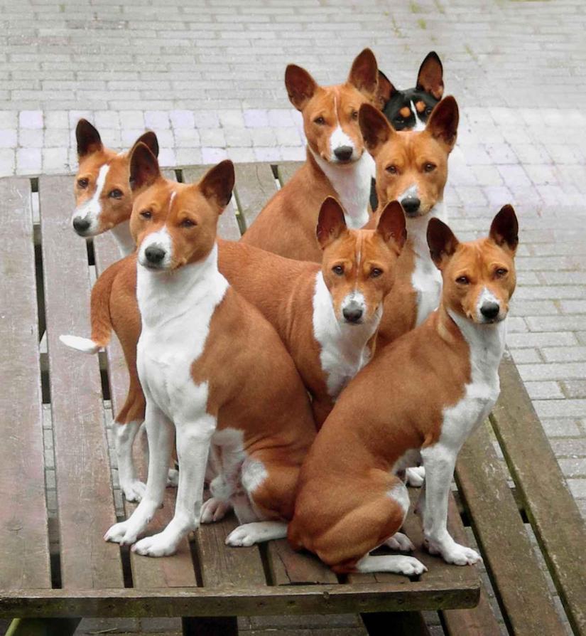 Basenji-dog-7