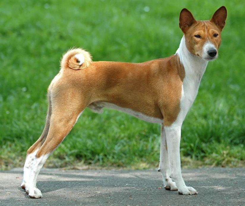 Basenji-dog