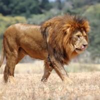 Kasaï-Occidental: un lion dévore 23 animaux domestiques à Lueta