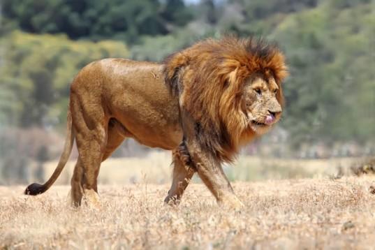 Lion-537x358