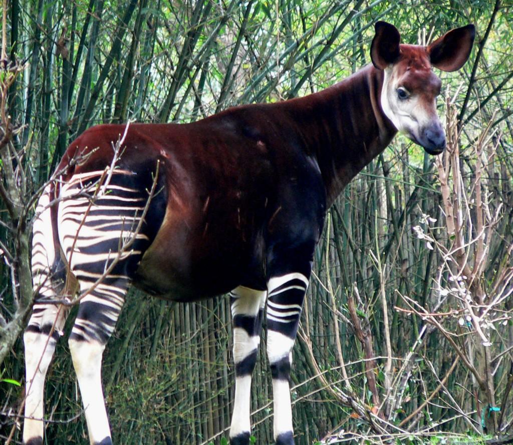 okapi1