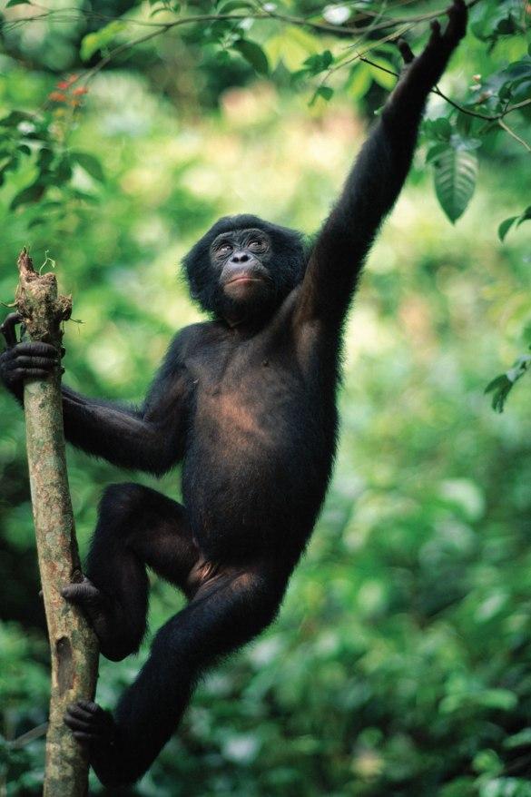 [Faune] Bonobo