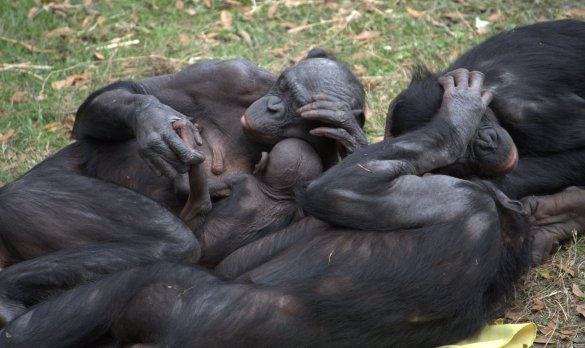 Bonobo group hug