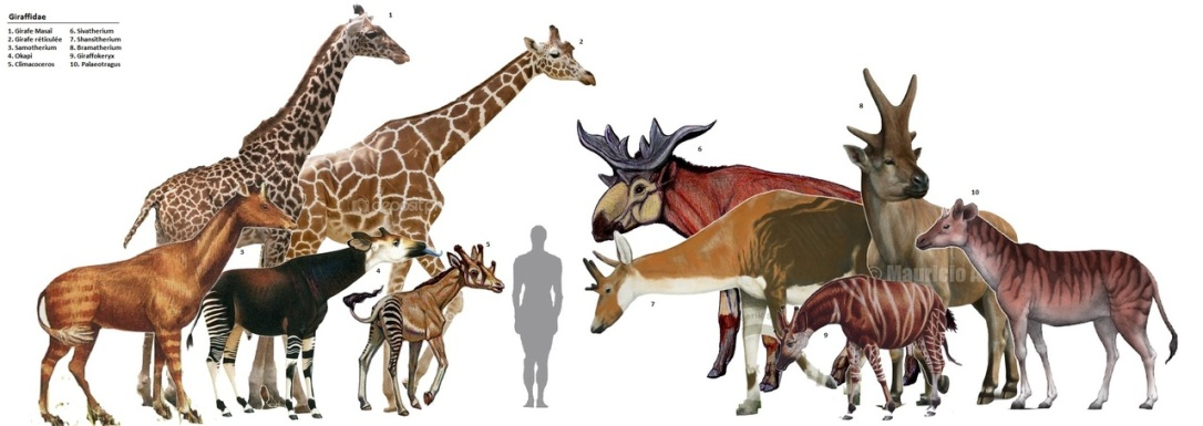 Giraffids--extinct and extant (painting by Mauricio?)