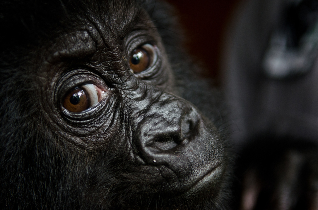 Baby gorilla Isangi, a poached 9-month-old Grauer's gorilla, was moved to Virunga National Park headquarters at Rumangabo to be quarantined for a month. She bonded quickly with her two new caretakers.